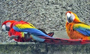 Country Diary : Feral macaws in Kirkby Stephen, Cumbria