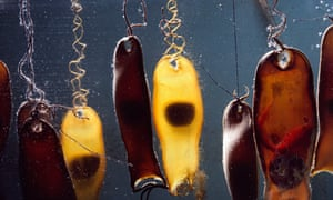 Swell Shark egg cases with embryos, sometimes called mermaid's purses