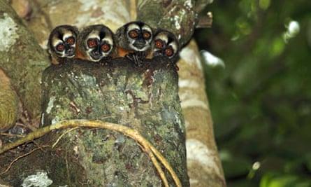 Five night monkeys (Aotus sp.) in a tree, Peru