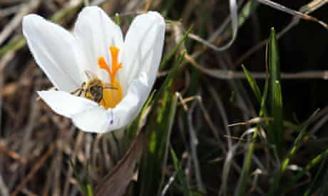 UK spring weather : A bee gathers nectar from flowers that have bloomed, Wales