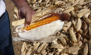 MDG : Indian farmer showing the quality of its newly harvested hybrid maize , southern Rajasthan