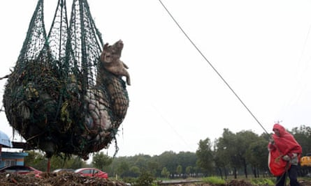 A worker hauls away dead pigs with a net in Zhonglian village of Jinshan district in Shanghai, China