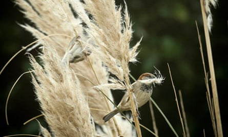 RSPB's annual Big Garden Birdwatch survey 2013 : House Sparrows