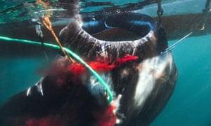 CITES in Bangkok :  Fishing manta ray in Indonesia