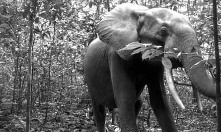CITES in Bangkok : Elephant in Nouabale Ndoki National Park, Republic of Congo