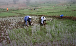MDG : Rwanda : Dfid project : Farmer weeding rice field