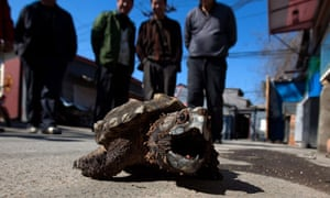 CITES in Bangkok : an Alligator Snapping Turtle for sale in Beijing