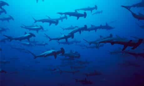 CITES in Bangkok :  Scalloped Hammerhead Shark