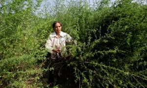 MDG A farmer harvests sweet wormwood trees