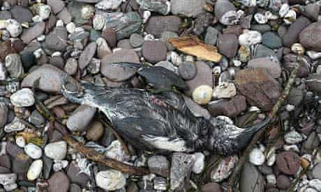 Bird deaths due to pollution : A dead guillemot is seen on the beach in Wembury