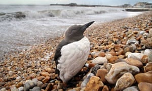 A guillemot covered in a transparent substance is seen struggling by the sea