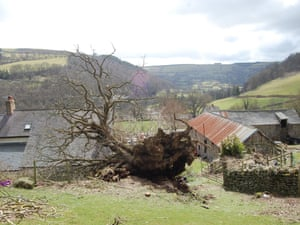1285 years old Pontfadog Oak has been knocked down by the wind, Wales