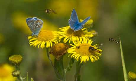 Bees with Common Blue butterflies