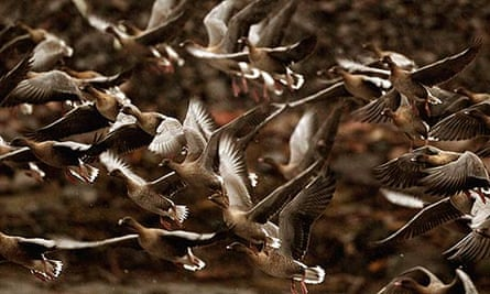 Country Diary : Pink footed geese take off to feed from Montrose Basin