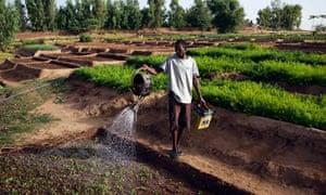 MDG beet plants in Gao, Mali