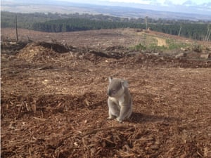 Koala rescued by WIRES following deforestation in the Vittoria State Forest, NSW Australia