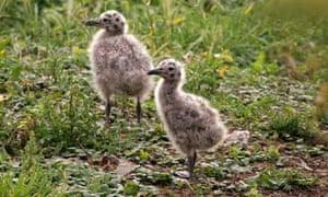 Lesser Black Backed Gull (Larus fuscus) Chicks