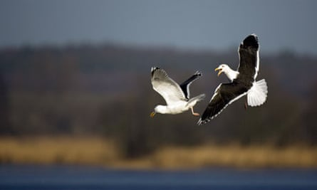 Lesser Black-backed Gull (Larus fuscus) pair showing aggression