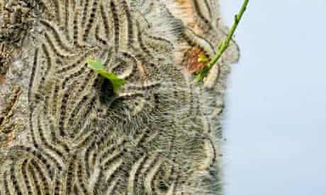 Oak Processionary caterpillars sit on an oak tree