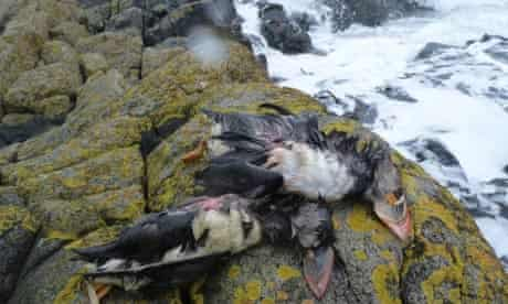 Dead puffins on the Isle of May, Scotland
