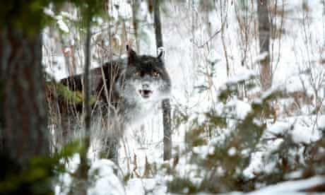 Blog about wildlife tv series : Wolf in the snow