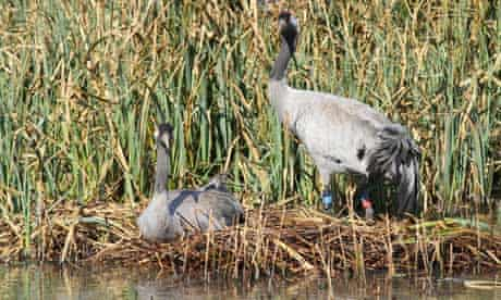 Cranes nest at the Wildfowl and Wetlands Trust Slimbridge Wetland Centre in southern England