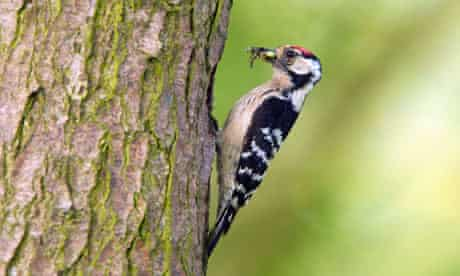 State of Nature : Male lesser spotted woodpecker