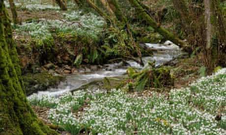 Woodland stream with carpet of Snowdrops - Galanthus nivalis Snowdrop Valley, Exmoor, Somerset