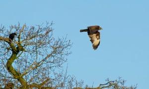 Buzzard in flight in Bedfordshire