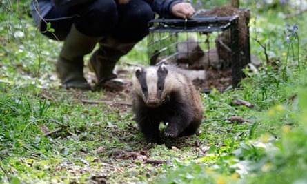 Rosie Woodroffe of Institute of Zoology free a badger with electronic collar