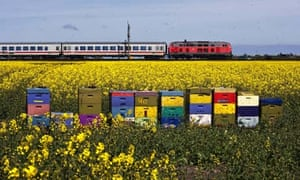 Bees and incesticide : Colorful beehives in rape field with train in background, Sylt, Germany
