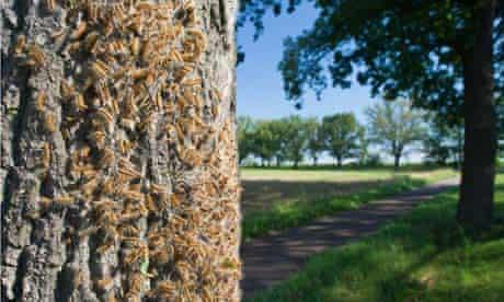 Oak processionary month plague  (Thaumetopoea processionea)