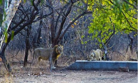 Asiatic lion also known as the Indian lion of The Gir National Park and Sanctuary in Western Gujarat