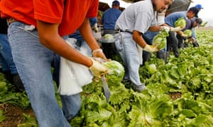 Exploring the Historic Salinas Valley in California : Workers harvest  iceberg lettuce