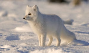 Arctic Fox Walking Along The Arctic Coast Of Alaska