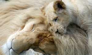 White lions cub Moto with his mother Zuri at Paradise Wildlife Park, Hertfordshire