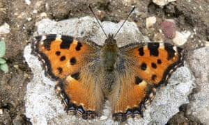 On the trail of the large tortoiseshell, the UK's most