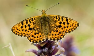 Country diary : Pearl Bordered fritillary butterfly