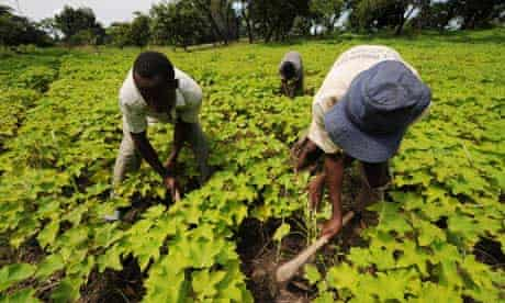 MDG : Biofuel and food security : Employees work in a Jatropha nursery field, Ivory Coast.