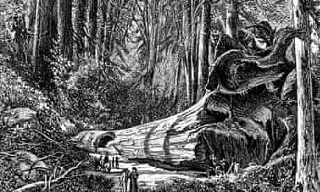 """Leo blog on mammoth tree : Tourist walking by 'The Father of The Forest"""" in Calaveras Grove"""
