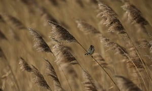 UK cold weather : A Reed Bunting sits in reeds at Elmley Marshes