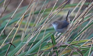 Country Diary : Cetti's Warbler , Strumpshaw Fen RSPB reserve in Norfolk