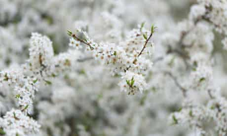 Country Diary : Hawthorn Spring blossom