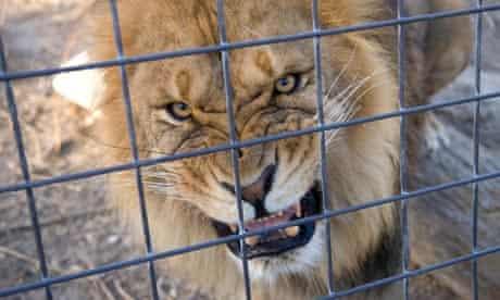 An african lion (panthera leo) captive in United States at the Riverside Zoo, Scottsbluff, Nebraska,