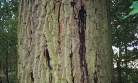 Acute Oak Decline symptoms of stem bleeding : Dried fluid crusted in bark splits.