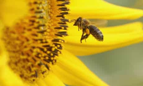 Europe Ban insecticide Fipronil : A bee collects pollen from a sunflower