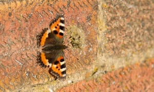 Country Diary : A small tortoiseshell butterfly basking on a farm wall