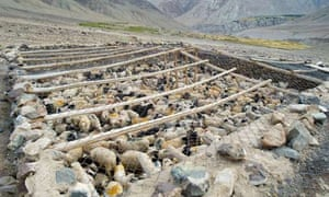 : goats and sheep in predator-proof corral