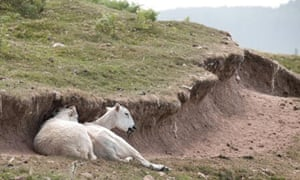 Climate change adaptation : drought/ heatwave in Wales : sheep seek any refuge from sun