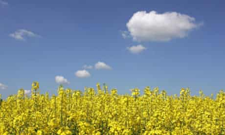 Rapeseed Plant used for biodiesel or biofuel